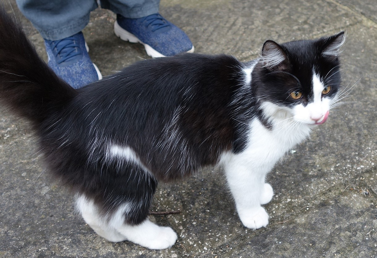 FOUND: Black and White Cat - 22 September 2019